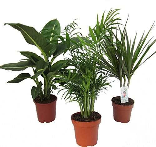 Dominik Blumen und Pflanzen, Zimmerpflanzen Set aus 1x Diefenbachie, 1x Zimmerpalme und 1x Drachenbaum (Dracaena marginata), 10-12 cm Topf