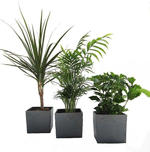 African-Set, Dracena Marginata, Kaffee-Pflanze + Zimmerpalme + Scheurich Würfeltopf...