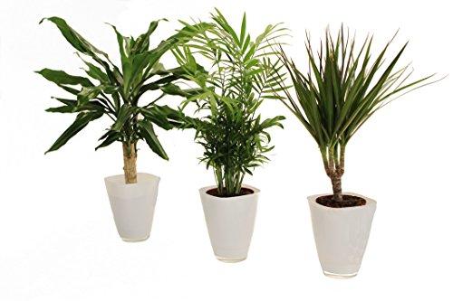Zimmerpflanzenpalmen-Trio im Scheurich Würfeltopf weiß