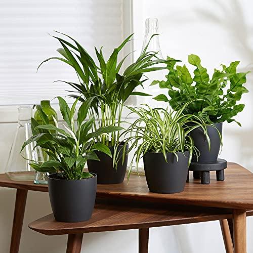 4er Set Luftreinigende Zimmerpflanzen | Vier Grünpflanzen mit Topf | Elho Übertopf...