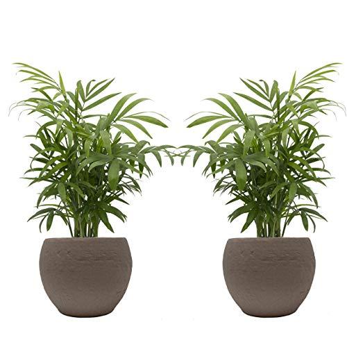 Zimmerpalmen-Duo mit Keramik-Blumentopf von Scheurich, 2 Zimmerpflanzen und 2 Dekotöpfe